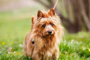 An australian terrier with a little wet nose and pointy ears
