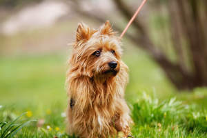 a beautiful australian terrier with gorgeous dark eyes
