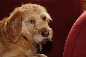 A gorgeous Basset Fauve De Bretagne with a cute little nose