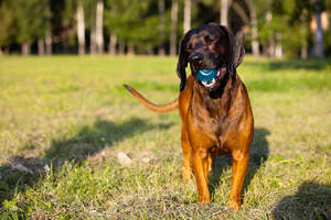 A happy bavarian mountain hound playing with a ball