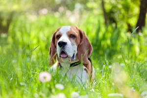 A beautiful little Beagle, poking it's head out of the long grass