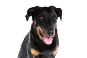 A close up of a Beauceron's obedient eyes