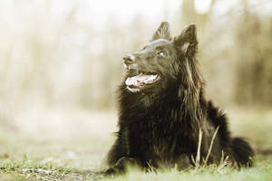 A beautiful Belgian Shepherd Dog (Groenendael) lying down on a walk