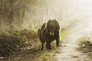 A fluffy Belgian Shepherd Dog (Groenendael) running with a ball