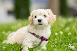 A Bichon Frise having a deserved rest on the grass