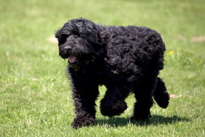 A Black Russian Terrier's beautiful, long body and giant paws