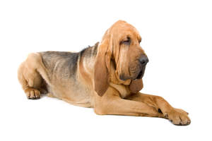 A healthy adult Bloodhound lying down with it's paws neatly crossed
