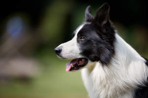A close up of a black and white Border Collie's beutiful long nose and attentive ears