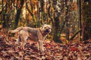A Border Terrier amongst the leaves, with a beautiful thick, wiry coat