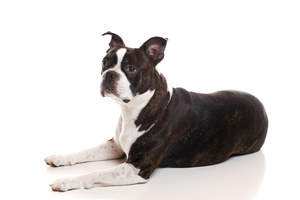 A mature adult Boston Terrier with a lovely strong physique