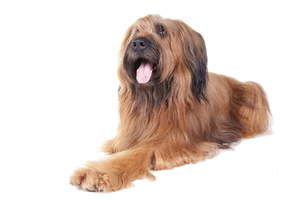 A Briard's wonderful long straight coat