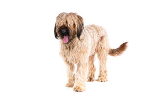 A Briard with a beautiful thick coat