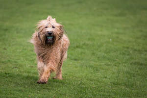 A healthy Briard playing with a ball outside