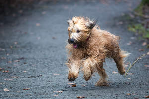 An adult Briard running at full pace