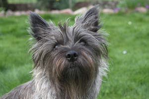 A close up of a Cairn Terrier's wonderful sharp ears and long, wiry coat