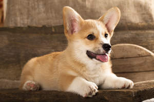 A beautiful, little Cardigan Welsh Corgi puppy with a soft, thick coat
