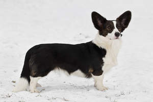 A black and white Cardigan Welsh Corgi, showing off it's beautiful, long body