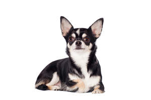 A dark coated Chihuahua with a short, thick coat