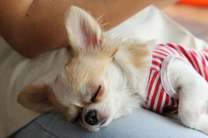 A tired chihuahua dressed in stripes having a snooze