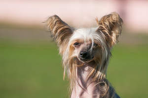 A close up of a Chinese Crested's beautiful long nose and ears