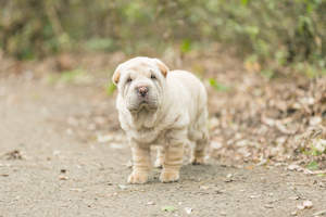 A beautiful, little Chinese Shar Pei puppy with a wrinkly coat