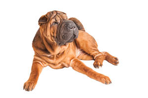 A matured adult Chinese Shar Pei laying very comfortably