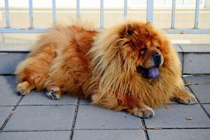 A wonderful adult Chow Chow resting on the pavement