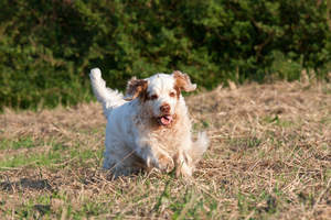 A lovely Clumber Spaniel enjoying some exercise outside
