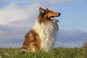 A beautiful Collie sitting tall, showing off it's lovely, long nose