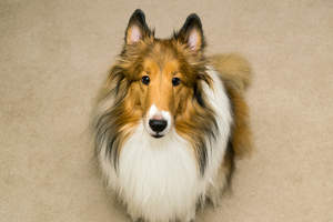 An intelligent adult Collie sitting patiently, waiting for a command