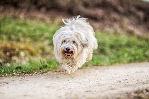 A bounding Coton De Tulear on a walk