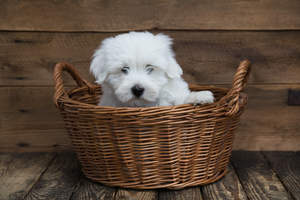 A lovely young Coton De Tulear in a basket