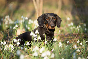 A Dachshund with a lovely black coat, poking it's head out of the grass