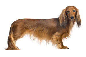 A Dachshund with a wonderful red coat, showing off it's long body