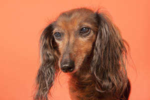 A close up of a Dachshund's beautiful long, soft ears