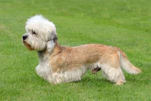 A healthy male Dandie Dinmont Terrier with a lovely long, soft coat