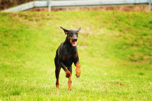 A Doberman Pinscher bounding across the grass