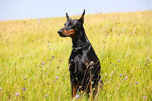 A Doberman Pinscher sitting very tall, showing off it's incredible dark coat