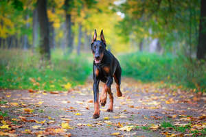 A healthy, adult Doberman Pinscher bounding toward's it's owner