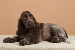A wonderful chocolate coated English Cocker Spaniel lying down