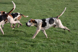 A great big English Foxhound with it's muscular body and amazing scent