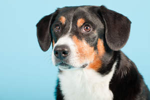 A close up of a Entlebucher Mountain Dog's beautiful short coat