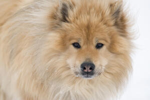 A close up of a Eurasier's incredible thick soft coat and wolf like eyes
