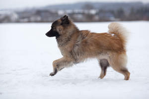A healthy adult Eurasier bowding across the snow
