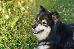 A close up of a Finnish Lapphund's wonderful pointed ears