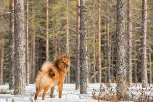 A Finnish Spitz showing off it's incredible tail