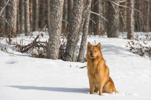 A Finnish Spitz sitting patiently in the snow, waiting for a command