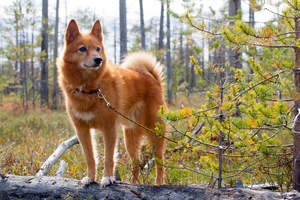 A Finnish Spitz standing tall on a fallen tree