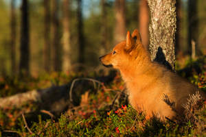 A close up of a Finnish Spitz's wonderful, pointed ears