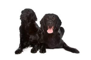 Two very comfortable Flat Coated Retrievers enjoying the floor